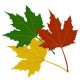 Иллюстрация кленовых листов красная зеленая желтая Стоковые Фотографии RF
