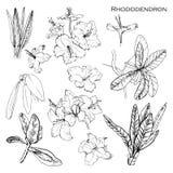 Иллюстрация комплекта с чернилами botanik травяными Изолированный рододендрон Francisca объекта Высокогорное нарисованное рукой п Стоковая Фотография RF