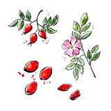 Иллюстрация нарисованная рукой плода шиповника Стоковая Фотография RF