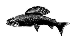 Иллюстрация рыб хариуса рыбной ловли мухы Стоковые Изображения