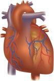 иллюстрация сердца Стоковые Изображения RF