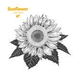 Иллюстрация солнцецвета нарисованная рукой Стоковое Изображение