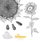 Иллюстрация солнцецвета нарисованная рукой Стоковые Фотографии RF