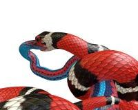 иллюстрация 3D короля змейки Калифорнии заглатывая змейку голубого красного цвета Стоковое фото RF