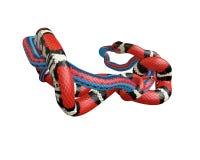 иллюстрация 3D короля змейки Калифорнии заглатывая змейку голубого красного цвета Стоковое Изображение RF