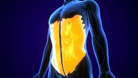 иллюстрация 3d медицински точной иллюстрации мышцы внешнее косого бесплатная иллюстрация