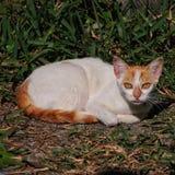 Имбирь и белый дикий кот с имбирем наблюдают Стоковое Фото
