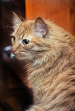 имбирь кота пушистый стоковые изображения rf