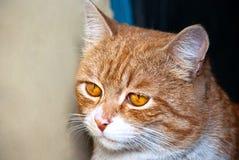 имбирь кота Стоковое Фото