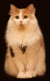 имбирь темноты кота предпосылки Стоковая Фотография