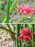 Имбирь факела тропического цветка красные или elatior Etlingera Стоковые Фото