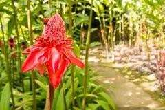 Имбирь факела тропического цветка красный Стоковая Фотография