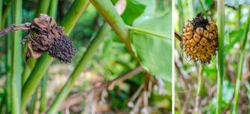 Имбирь факела тропического цветка красный Стоковое фото RF