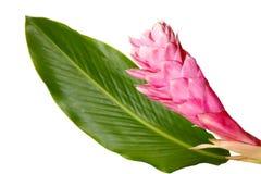 имбирь цветка Стоковая Фотография