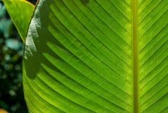 Имбирь Rattlesnake лист Стоковые Изображения