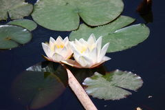 имейте акварели воды изображения лилии себя I покрашенные белые стоковые изображения rf