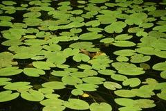имейте акварели воды изображения лилии себя I покрашенные белые Стоковые Фото