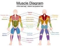 Имена мужского тела диаграммы мышцы иллюстрация штока