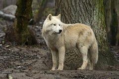 имени волчанки canis arctos волк латинского приполюсный Стоковая Фотография RF