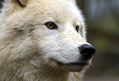 имени волчанки canis arctos волк латинского приполюсный Стоковые Фото