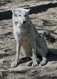 имени волчанки canis arctos волк латинского приполюсный Стоковые Изображения