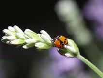 иметь секс ladybirds Стоковое Фото