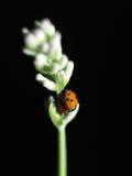 иметь секс ladybirds Стоковое Изображение