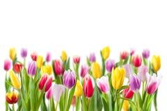 имеющиеся цветки eps изолировали белизну тюльпана стоковое изображение rf
