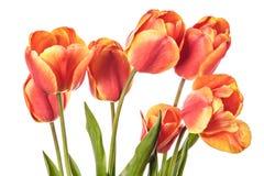 имеющиеся цветки eps изолировали белизну тюльпана стоковая фотография rf
