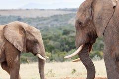 Имеющ момент - слона Буша африканца Стоковые Фото