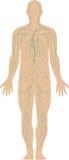 иммунная система Стоковая Фотография RF
