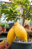 2 лимона на малом дереве Стоковые Фото