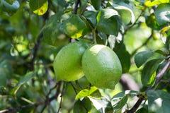2 лимона почти зрелого Стоковая Фотография