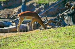 Импала на парке дикого животного в так Cal Стоковое Изображение