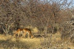 Импала пася под деревом bushveld стоковое изображение