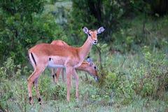 2 импалы пася на кусте в Кении стоковое изображение rf