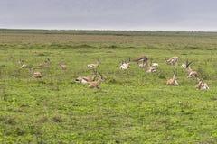 импала антилопы в Танзании Стоковые Изображения RF