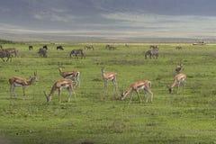 импала антилопы в Танзании Стоковое фото RF