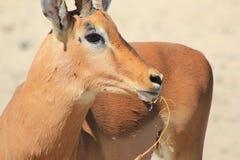 Импала - африканская живая природа - приоритет еды Стоковые Изображения