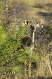 Импала в кусте в Южной Африке стоковое фото