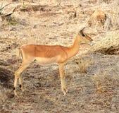 Импала в национальном парке Kruger Стоковая Фотография RF