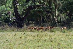 Импала газеля Afrikanskfy Стоковая Фотография RF