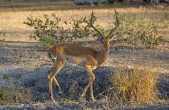 Импала, запас игры Selous, Tanzanie Стоковое Изображение RF