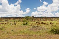 Импала или антилопы пася в саванне на Африке Стоковая Фотография