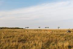 Импала или антилопы пася в саванне на Африке Стоковая Фотография RF