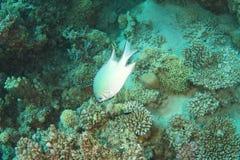 Император бычеглазого окуня над коралловым рифом стоковые фото