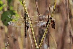 император dragonfly Стоковое фото RF