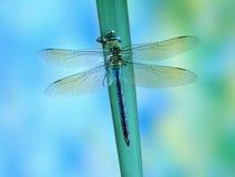 Император imperator Anax Dragonfly (женский) голубой стоковые изображения
