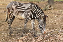 Имперская зебра Стоковая Фотография RF