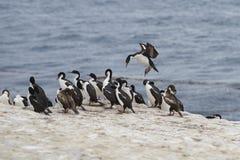 Имперский Shag приходя в землю - Фолклендские острова Стоковые Изображения RF